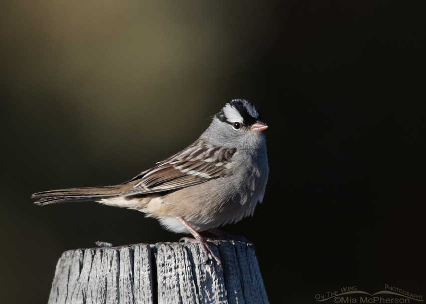 Adult Interior West White-crowned Sparrow