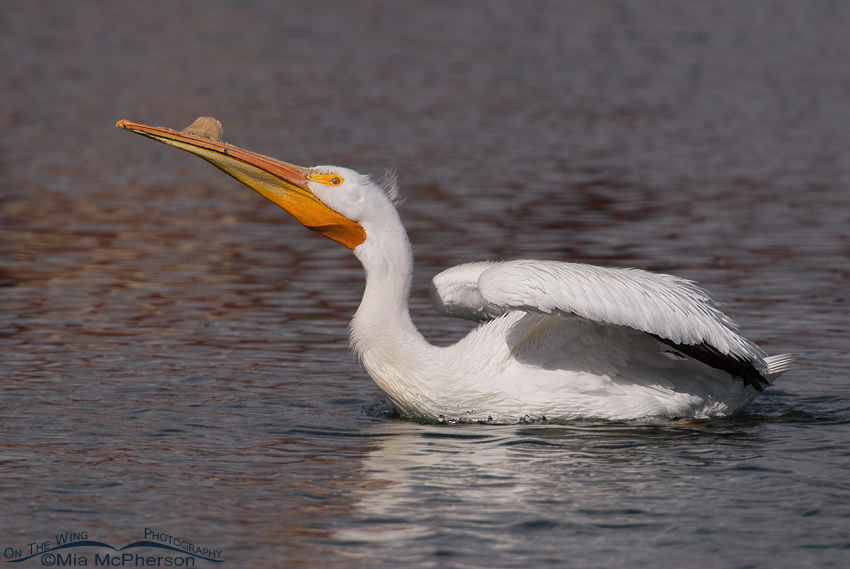 American White Pelican stretching