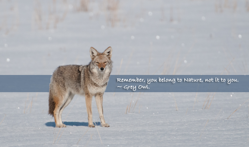 Coyote on a sunny winter day
