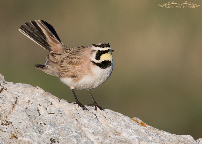 Male Horned Lark displaying