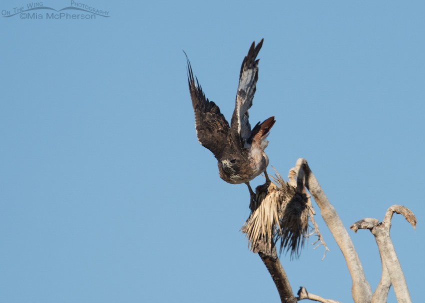 Red-tailed Hawk lifting off from a Joshua Tree