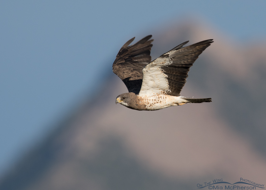 Light morph Swainson's Hawk in flight over the Centennial Valley