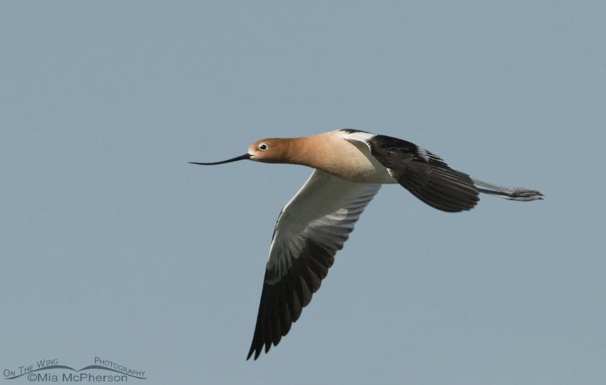 American Avocet (Recurvirostra americana) in flight
