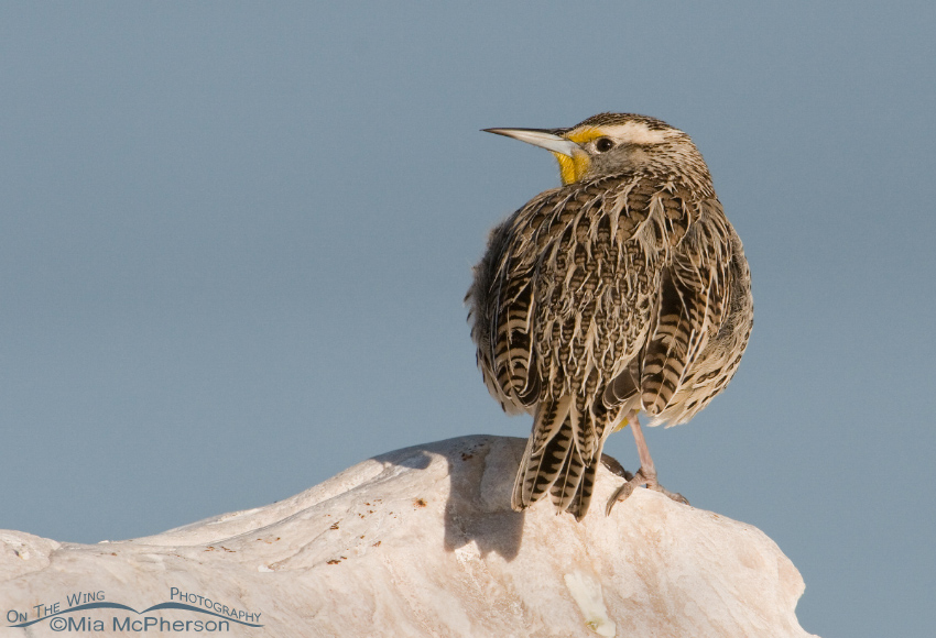 Western Meadowlark (Sturnella neglecta) with the Great Salt Lake in the background