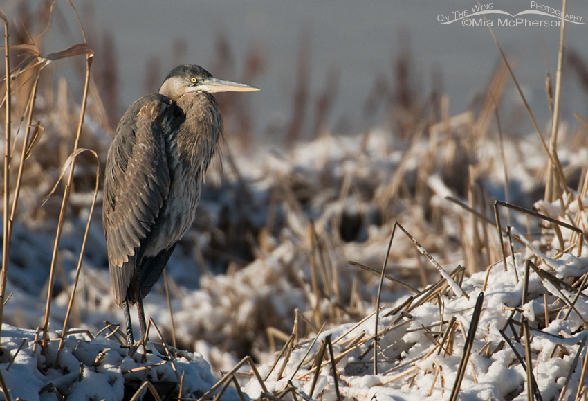 Hatch year Great Blue Heron on Christmas Day