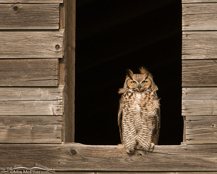 Female Great Horned Owl in a granary window