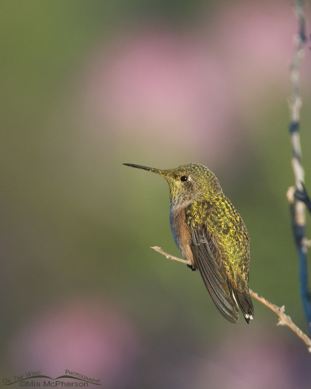Perched Calliope Hummingbird