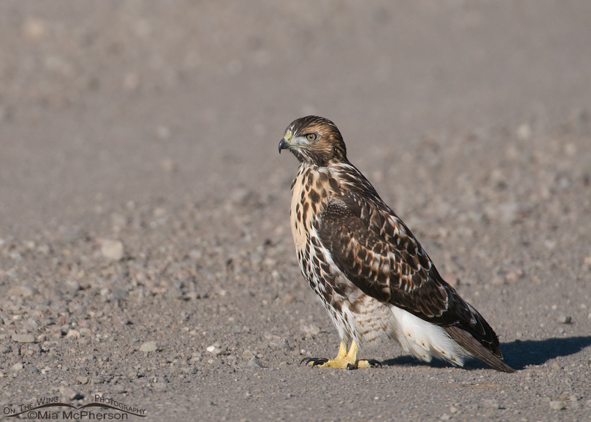 Juvenile Red-tailed Hawk on a gravel road