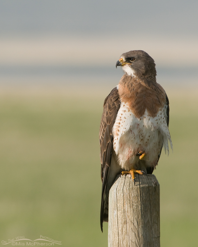 Adult Swainson's Hawk in the Centennial Valley, Montana
