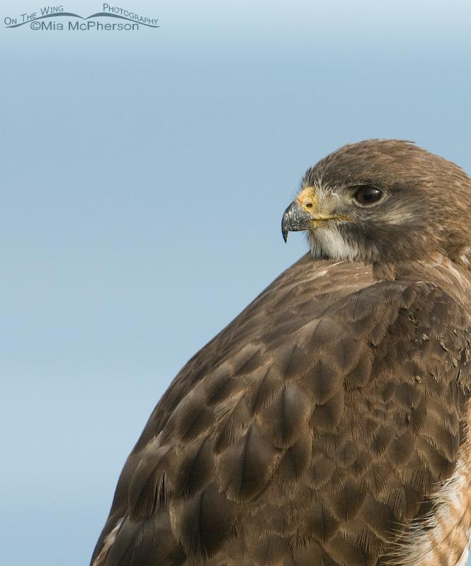 Adult Swainson's Hawk portrait on Antelope Island State Park, Utah