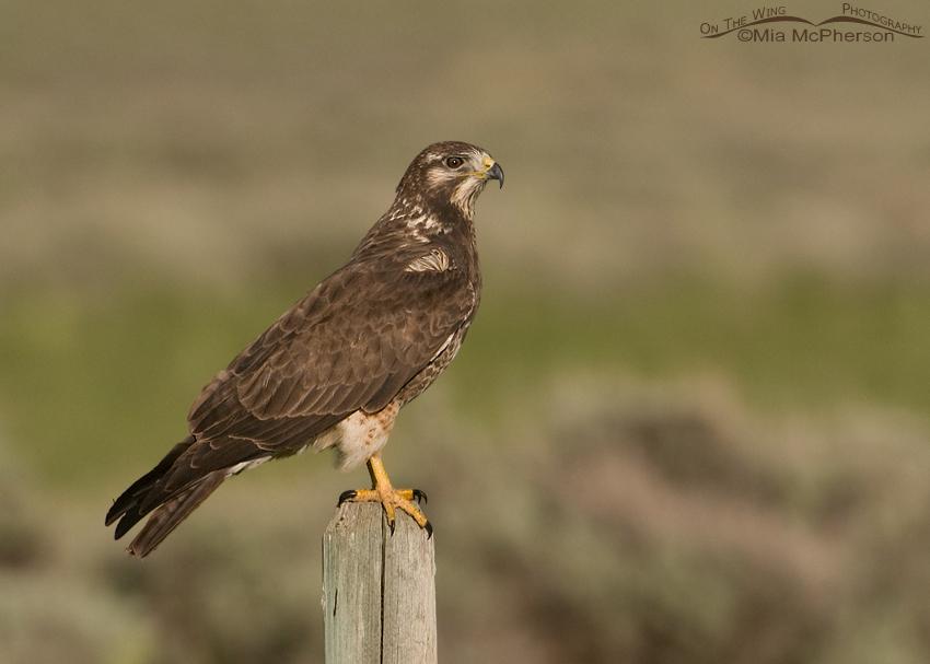 Sub-adult Swainson's Hawk in Beaverhead County, Montana