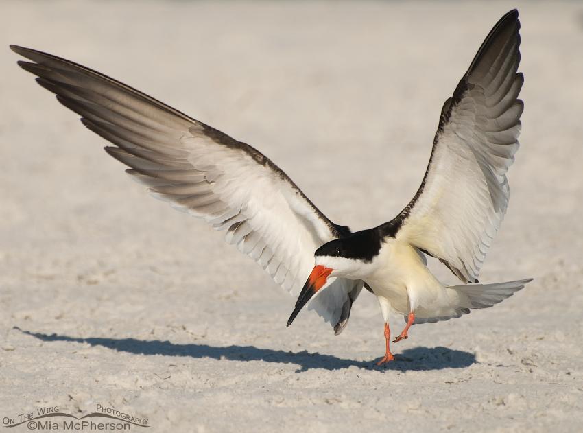 Landing Black Skimmer
