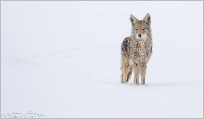 Snow Stalker - Coyote