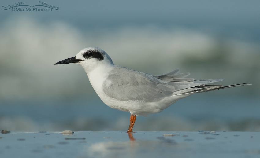 Forster's Tern in front of a light colored wave
