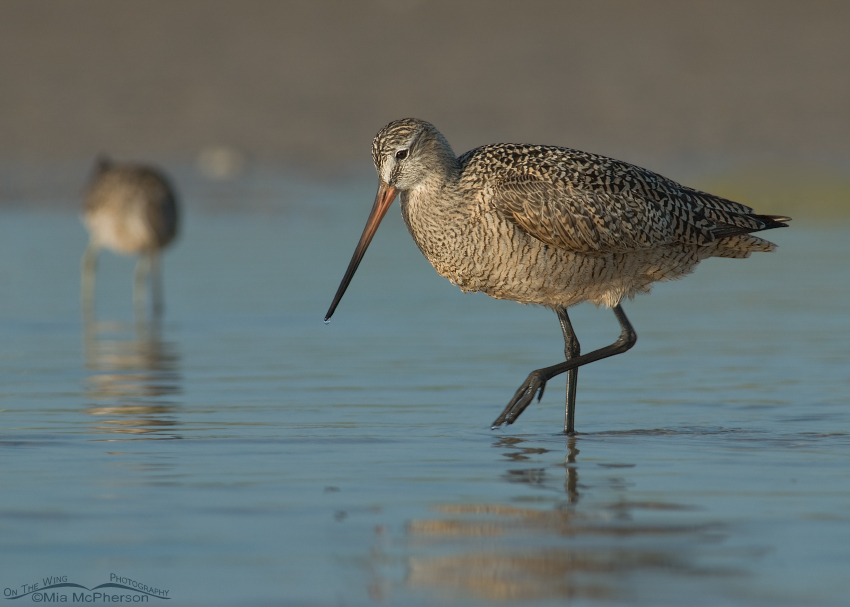 Marbled Godwit in a Florida lagoon