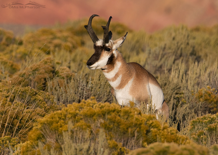 Pronghorn buck marking his territory amongst Rabbitbrush