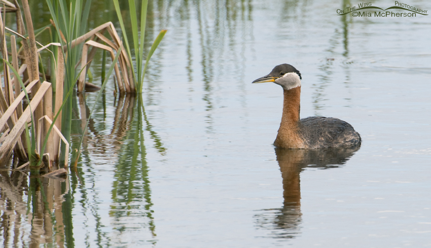 Red-necked Grebe adult