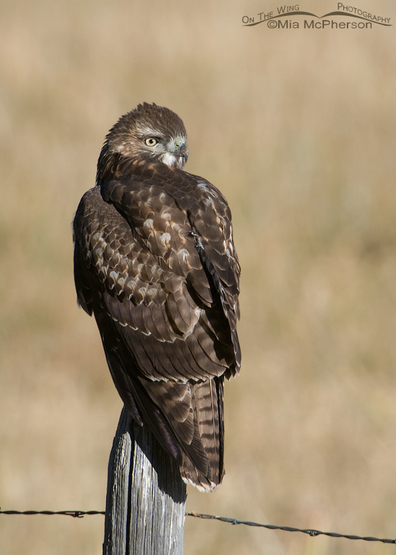 Back view of the juvenile Red-tailed Hawk