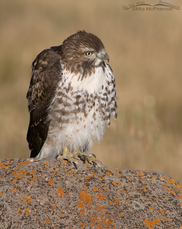 Red-tailed juvenile fluffed up because of cows that are close by