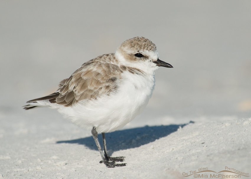 Snowy Plover on a late September morning