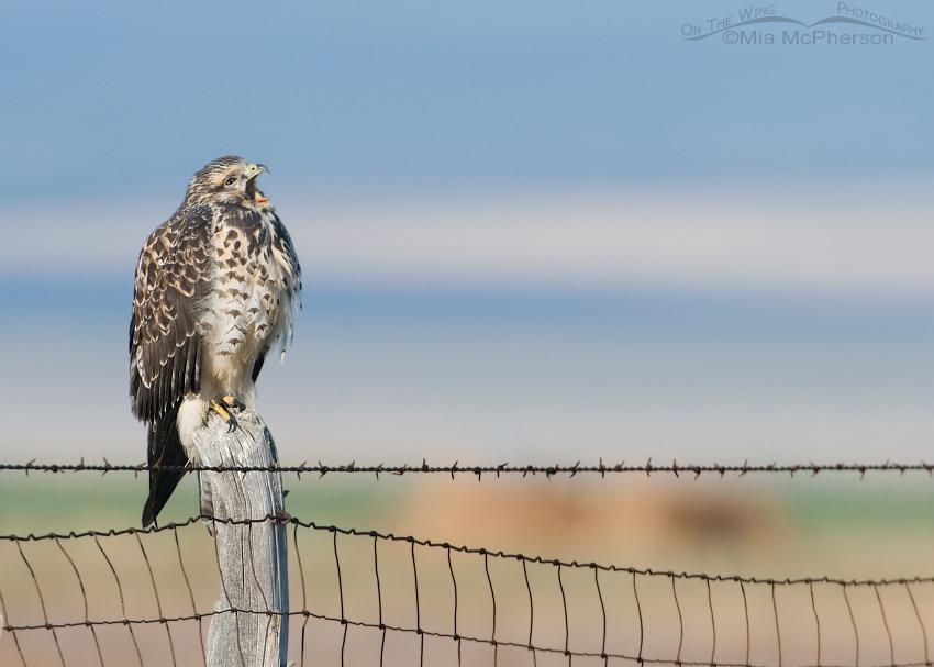 Yawning juvenile Swainson's Hawk