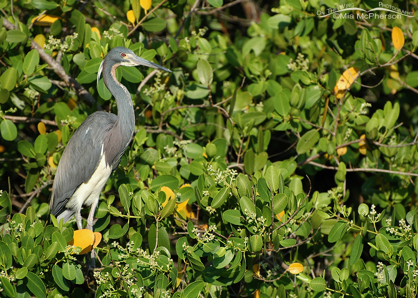 Tricolored Heron perched in White Mangroves