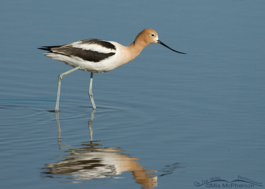 American Avocet foraging in a shallow pond