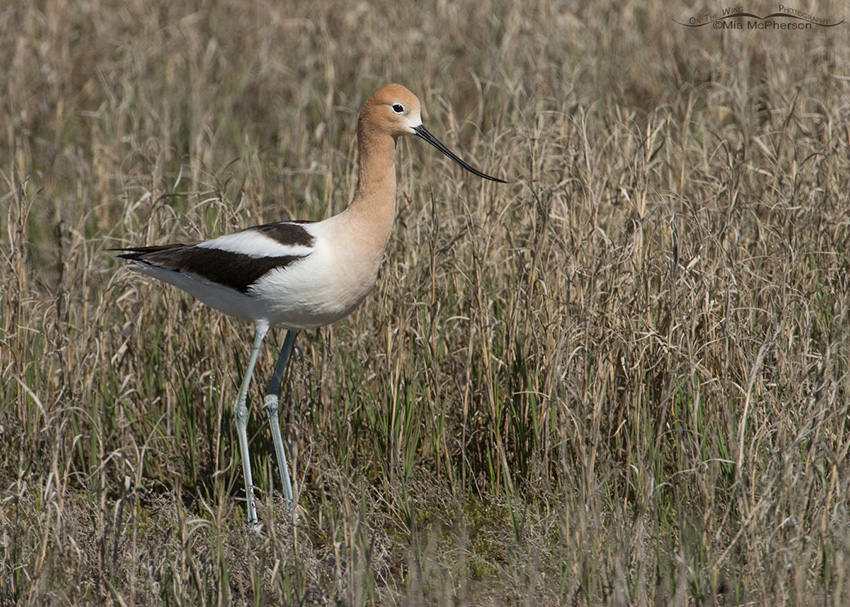American Avocet in the grasses