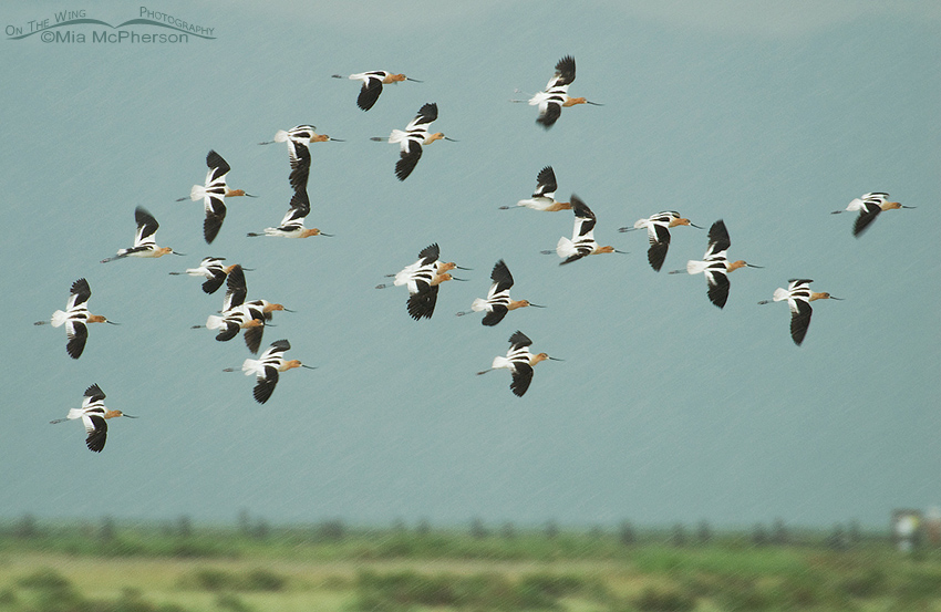 American Avocets flying in a driving rain