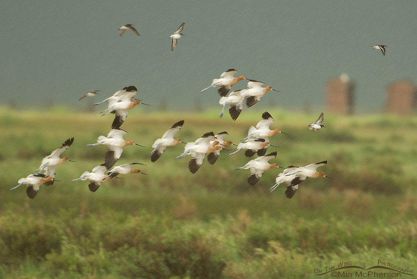 American Avocets and Wilson's Phalaropes about to land in the rain