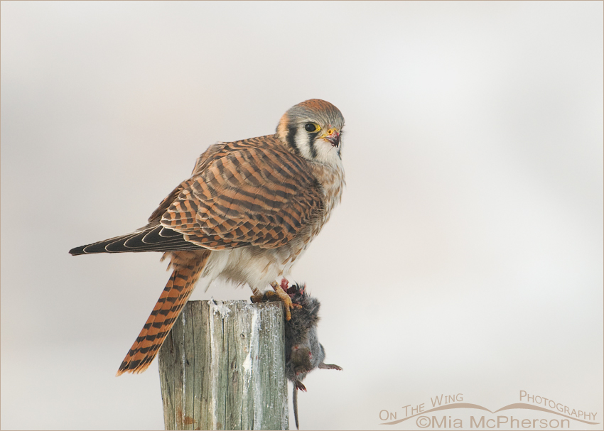 Female American Kestrel and a Vole