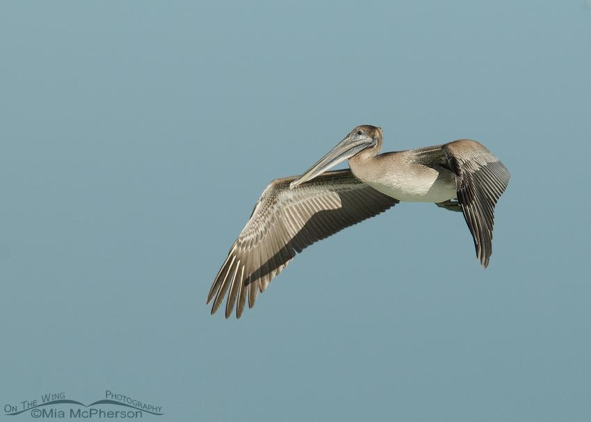 Juvenile Brown Pelican in flight