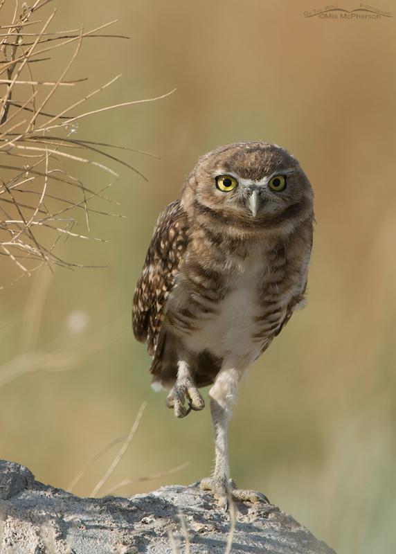 Peekaboo Burrowing Owl fledgling