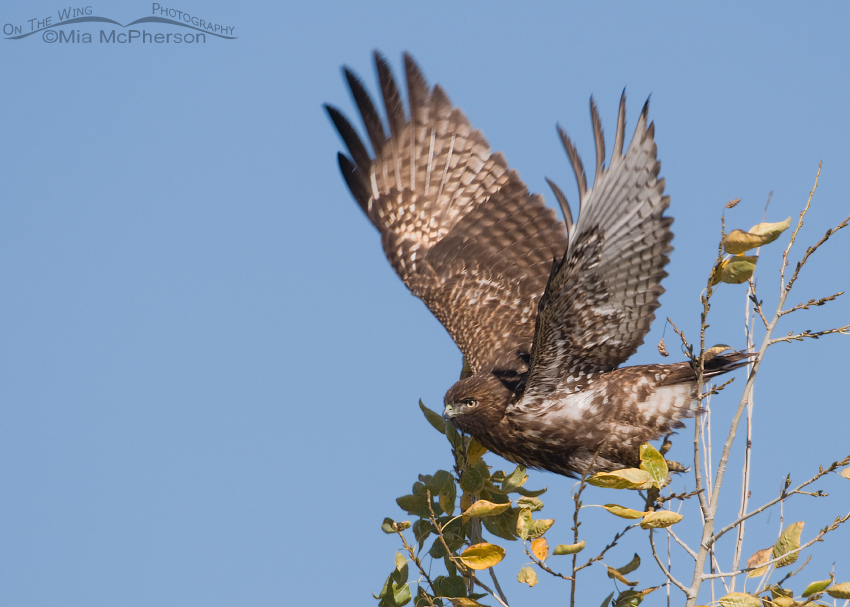 Dark juvenile Red-tailed Hawk lifting off