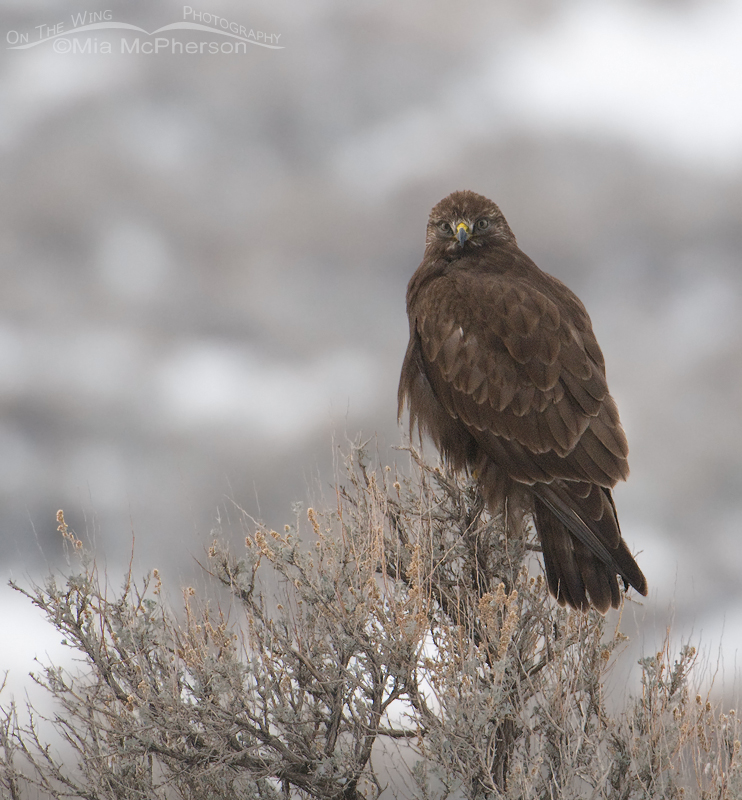 Dark morph Rough-legged Hawk on a dreary winter day