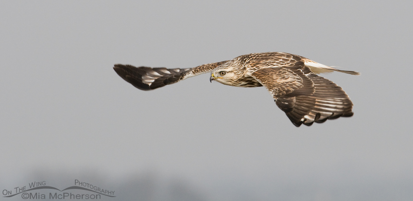 Rough-legged Hawk on a foggy day
