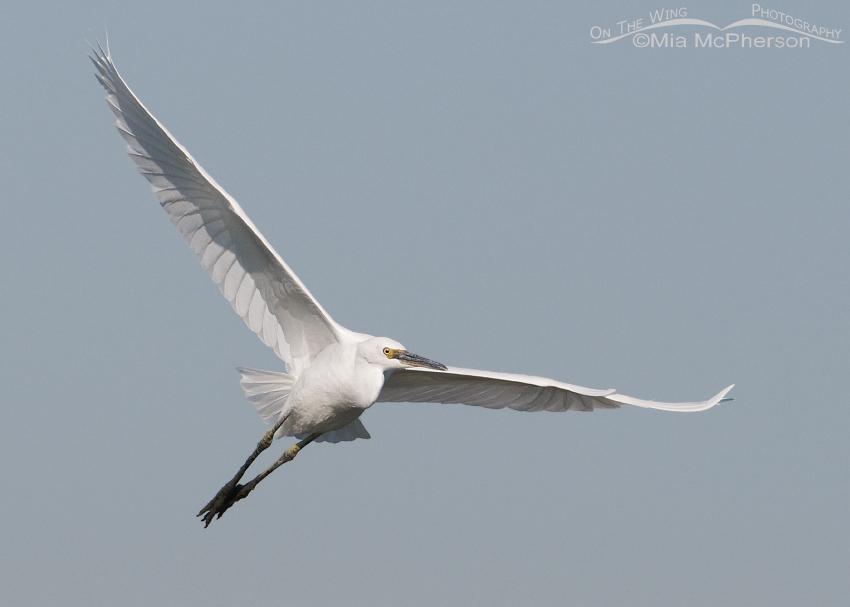 Snowy Egret with muddy legs