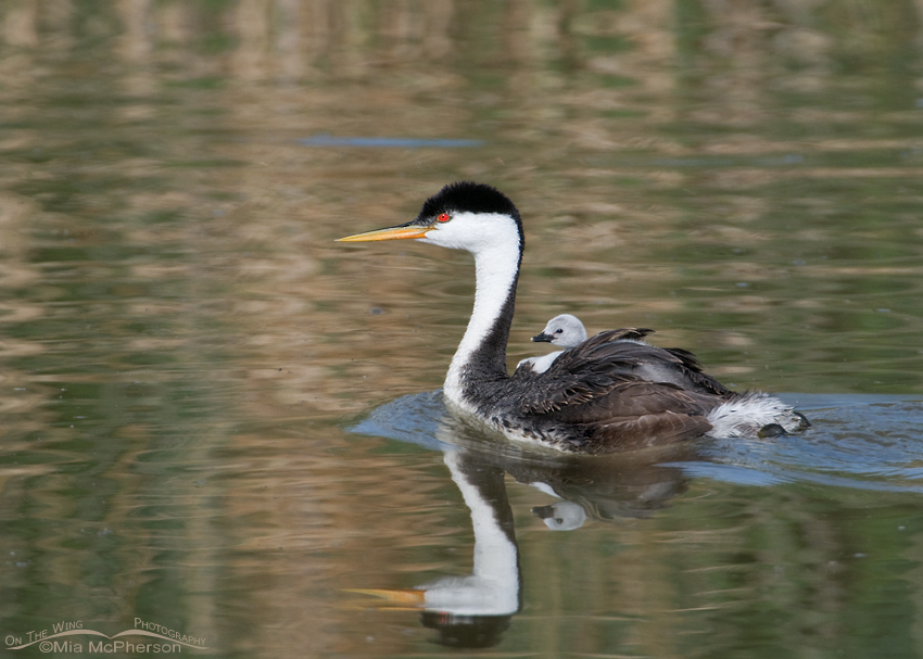 Western Grebe with a chick riding piggyback