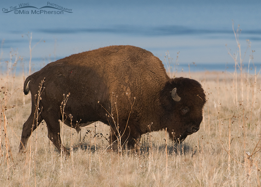 Bison bull feeding with the Great Salt Lake in the background