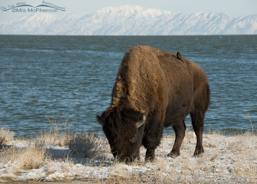European Starling hitching a ride on a Bison