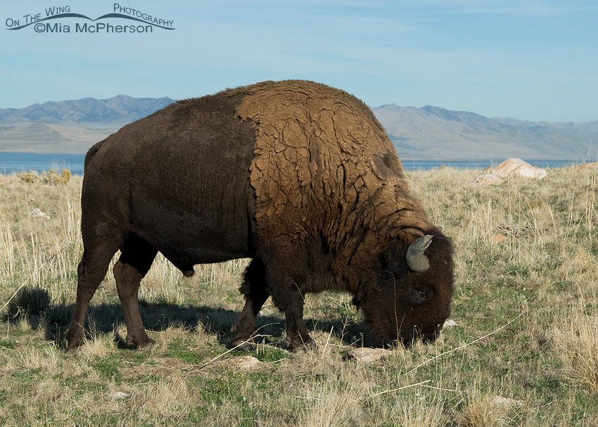 Bison bull grazing with Promontory Point in the background