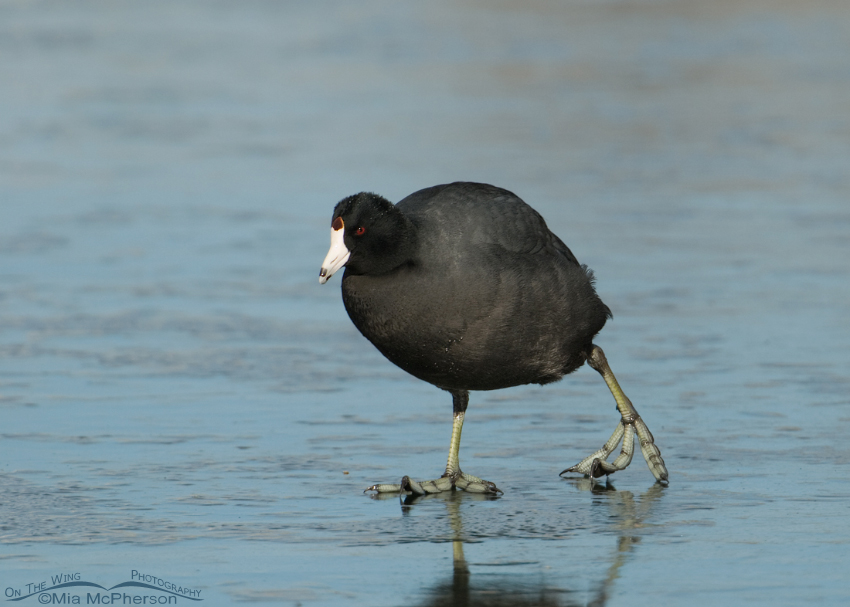 American Coot moving slowly on ice