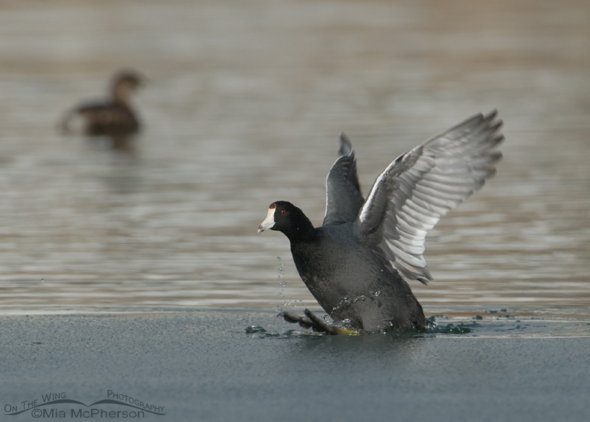 American Coot on thin ice