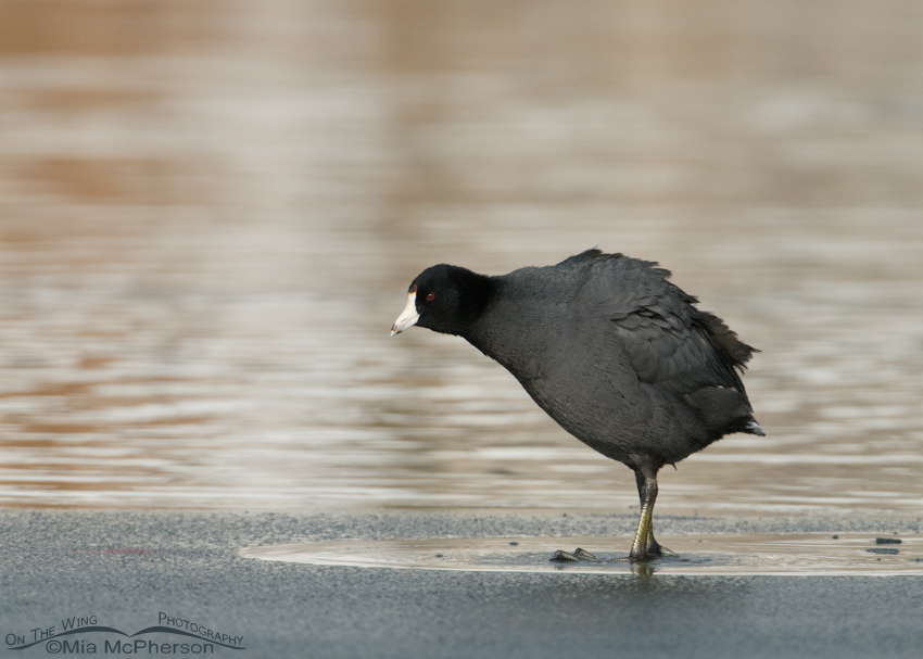 Sinking American Coot