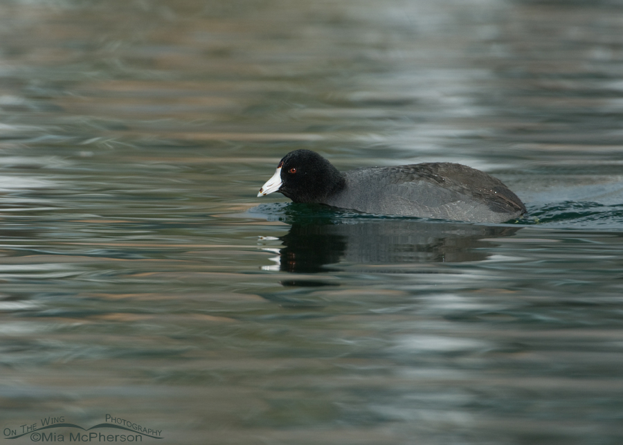 American Coot small in the frame