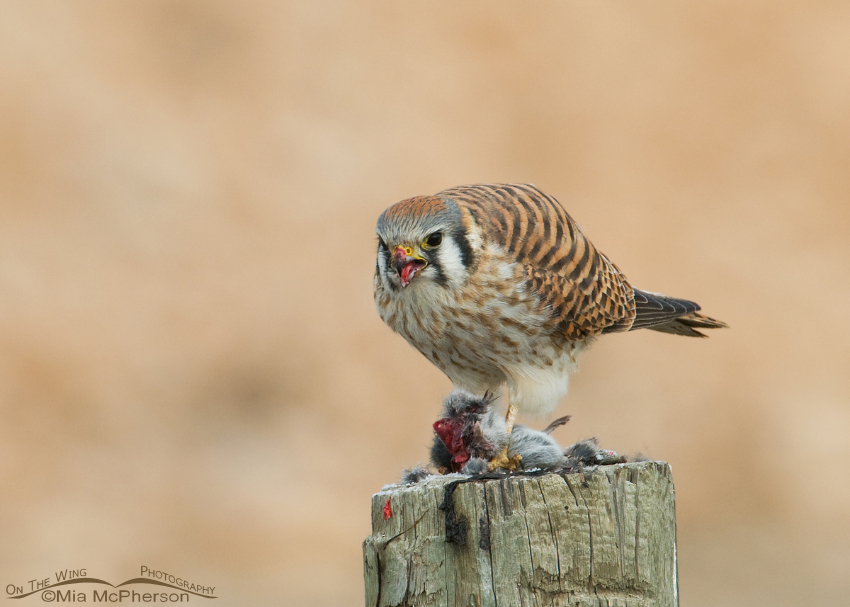 American Kestrel female eating a vole