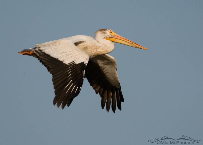 American White Pelican fly by