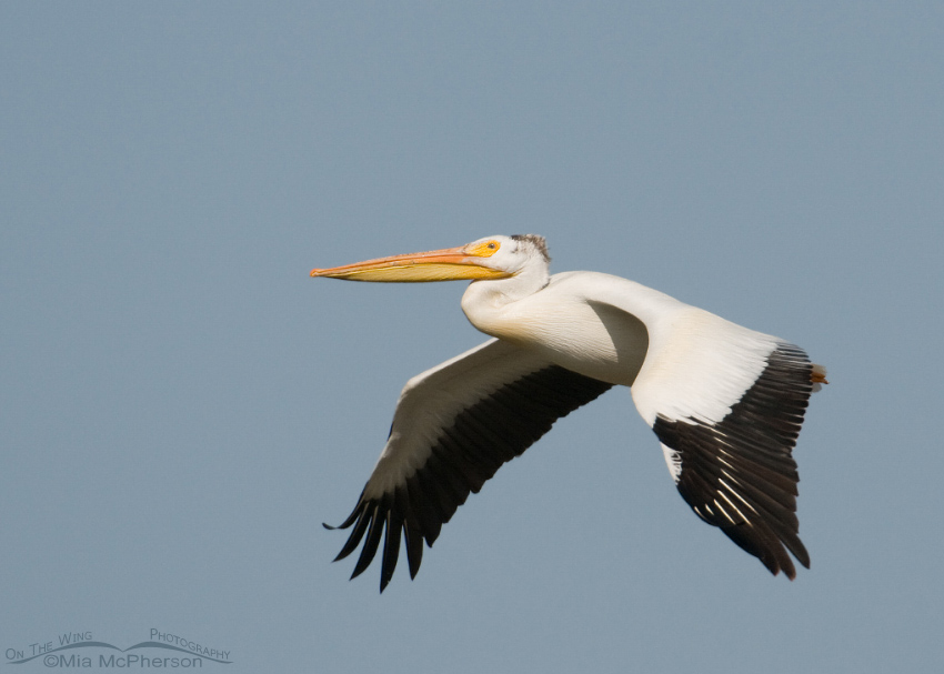 American White Pelican in flight over a marsh