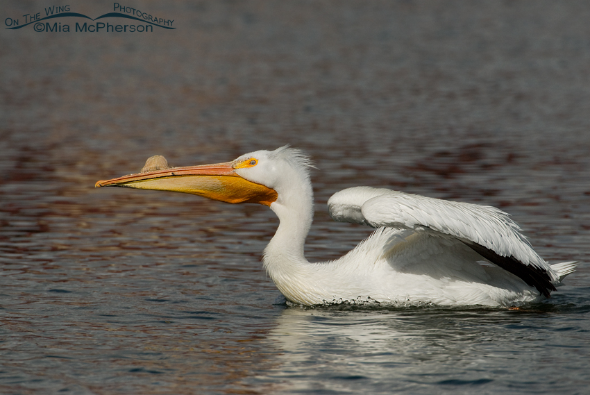 "An American White Pelican's ""horn"""