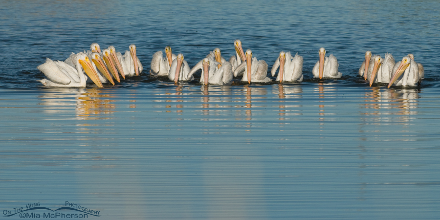 Class picture - American White Pelicans, Utah